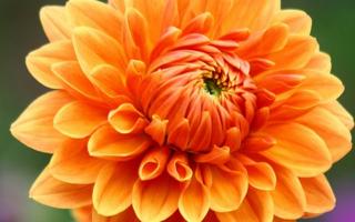 Orange_Dahlia_2884464679_11ff1c8374_o